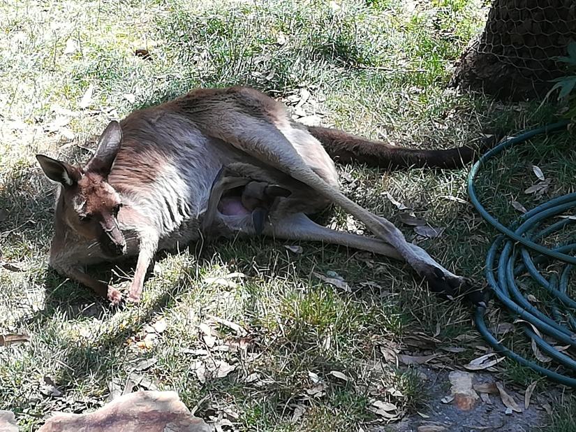 Kangarooo..