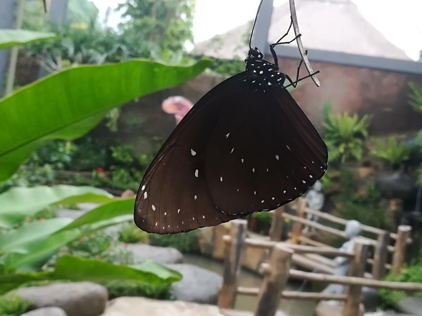 * Kraina motyli*